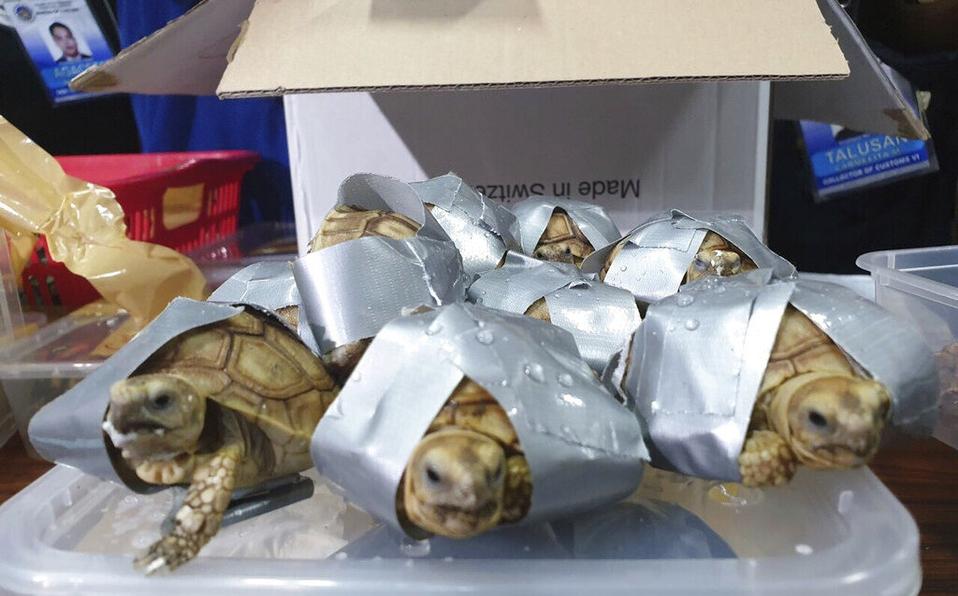 En equipaje hallan mil 500 tortugas